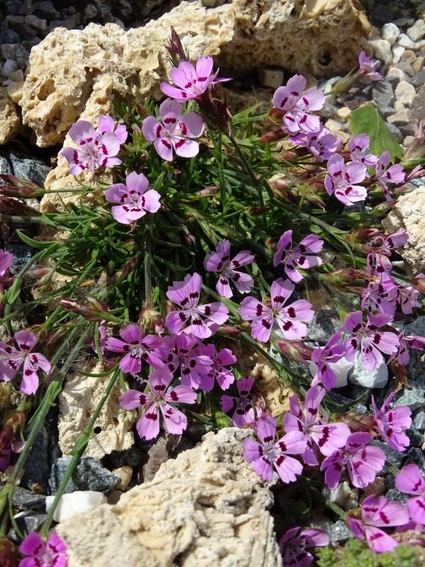 Dianthus tymphrasteus