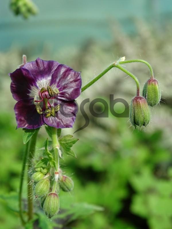 Geranium phaeum 'Mourning Widow'
