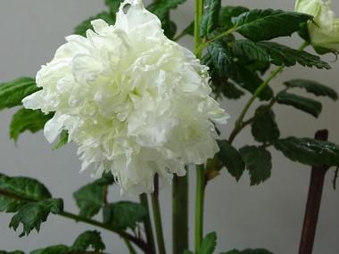 Rubus rosifolius 'Coronarius