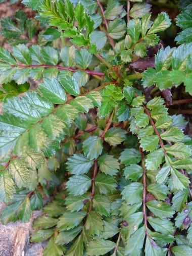 Rubus taiwanicola