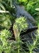 Acanthophyllum Pungens